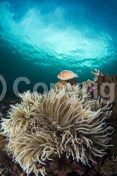 2;Adorable;Amphiprion perideraion;Anemone;Anemonefish;Blue water;Brush;Brushing;Clownfish;Comfy;Couple;Cute;Fish;Hide;Hiding;Home;Indonesia;Manado;Marine;Nemo;Nestle;Nestled;Pair;Pink anemonefish;Pomacentridae;Protection;Relationship;Shelter;Soft;Sulawesi;Symbiosis. Symbiotic;Tentacles;Two;Underwater;Vertical