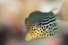 HAL270510A0039  Juvenile Solor Boxfish, Ostracion solorensis, Close up of head, Masi Raja, Pinnacles, Halmahera, Maluku Islands, Indonesia