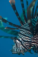 HAL270510A0043  Common Lionfish, Pterois volitans, Close up profile, Masi Raja, Pinnacles, Halmahera, Maluku Islands, Indonesia