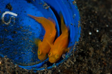 LEM100509J0010  Yellow Pygmy-Goby, lubricogobius exiguus, Pair in blue bucket with eggs, Lembeh Strait, Sulawesi, Indonesia