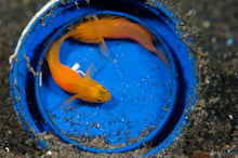 LEM100509J0012  Yellow Pygmy-Goby, lubricogobius exiguus, Pair in blue bucket with eggs, Lembeh Strait, Sulawesi, Indonesia