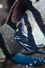 LEM100509J0031  Banggai Cardinalfish, Pterapogon kauderni, Male with young on mouth, Lembeh Strait, Sulawesi, Indonesia