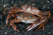 LEM100509J0043  Swimming Crab, Thalamita sp., Pair mating on black sand, Lembeh Strait, Sulawesi, Indonesia