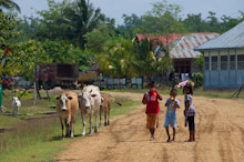 HAL110610A0035  Children walking through rural village with cows, Halmahera, Maluku Islands, Indonesia
