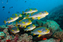 MAL170410A0008  Oriental Sweetlips, Plectorhinchus vittatus, Small school over reef, Rasdhoo Atoll, North Male, Maldives