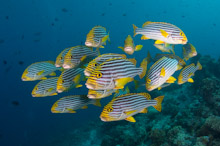MAL170410A0013  Oriental Sweetlips, Plectorhinchus vittatus, Small school over reef, Rasdhoo Atoll, North Male, Maldives