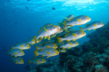 MAL170410A0016  Oriental Sweetlips, Plectorhinchus vittatus, Small school over reef, Rasdhoo Atoll, North Male, Maldives