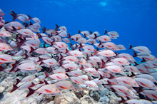 MAL210310J0015  School of Humpback Red Snappers, Lutjanus gibbus, swimming over rocky reef, profile, side view, Vaavu Atoll, The Maldives