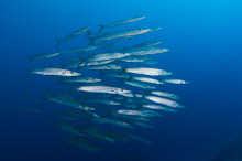 MAL230310A0009  School of Chevron Barracudas, Sphyraena quenie, swimming in the blue, profile, Vaavu Atoll, The Maldives