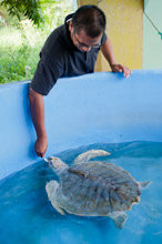 BRU190511J0009  Tourist feeds a Olive Ridley turtle, Lepidochelys olivacea, on display for students and visitors to the fisheries rearing and rehabilitation centre, Brunei Darussalam, Borneo