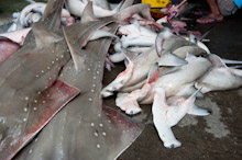 BRU200511J0047  Hammerheads and Rays, caught in fishermens nets, to be butchered and finned, Brunei Darussalam, Borneo