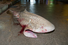 BRU200511J0057  A slaughtered Zebra shark, Stegostomata fasciatum, a rare sight in the oceans and not dangerous to people, Brunei Darussalam, Borneo