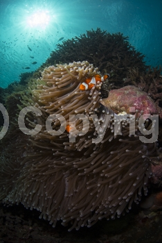 2;Adorable;Amphiprion ocellaris;Anemone;Anemonefish;Brush;Brushing;Clownfish;Comfortable;Comfy;Couple;Cute;False clown anemonefish;Hide;Hiding;Home;Indonesia;Manado;Marine;Nemo;Nestle;Nestled;Pair;Pomacentridae;Protection;Relationship;Shelter;Silhouette;Soft;Sulawesi;Sun;Symbiosis. Symbiotic;Tentacles;Two;Underwater;Vertical;sunburst