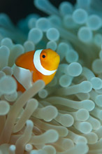 HAL300510A0034  Western Clown Anemonefish, Amphiprion ocellaris, in host anemone, TG Ball South, Halmahera, Maluku Islands, Indonesia