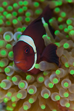 HAL310510A0043  Western Clown Anemonefish, Amphiprion ocellaris, Brown variation in host Anemone, Lilai North, Halmahera, Maluku Islands, Indonesia
