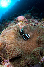 LAY220611J0011  Clarks Anemonefish, Amphiprion clarkii, on reef, Layang Layang, Spratly Islands, Sabah, East Malaysia, South China Sea.
