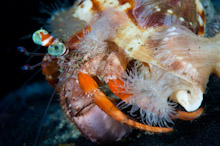LEM100509J0047  Hermit Crab, Dardanus pedunculatus, Close up with Sea Anemones on shell, Lembeh Strait, Sulawesi, Indonesia