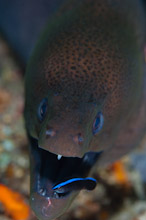 MAL011209A0003  Giant Moray, Gymnothorax javanicus, Close up of head with juvenile cleaner wrasse, North Ari Atoll, Maldives