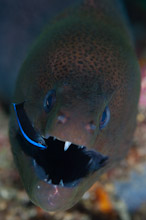 MAL011209A0004  Giant Moray, Gymnothorax javanicus, Close up of head with juvenile cleaner wrasse, North Ari Atoll, Maldives