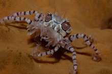 MND180509J0002  Boxer Crab, Lybia tesselata, with anemones on claws for defense, Manado, Sulawesi, Indonesia.