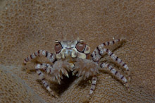 MND180509J0004  Boxer Crab, Lybia tesselata, with anemones on claws for defense, Manado, Sulawesi, Indonesia.