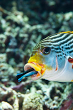 MND241010G0014  Oriental Sweetlips, Plectorhinchus vittatus, being cleaned by wrasse, Manado, Sulawesi, Indonesia.