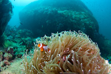 SAB210511G0002  False Clown Anemonefish, Amphiprion ocellaris, Mayne Rock, West Coast of Sabah, Borneo, East Malaysia.