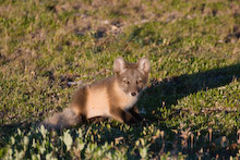 CAN200606J0056  Arctic Fox, Aloplex lagopus, in summer coat, Great Ocean Adventures Shoot, Churchill, Manitoba, Canada.