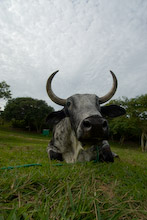 FDN010706J0006  Brazilian cattle, Mainland, Brazil,