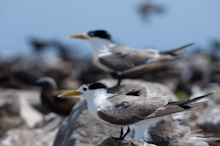 LAY230611J0003  Great Crested Tern, Sterna bergii, Layang Layang, Spratly Islands, Sabah, East Malaysia, South China Sea.