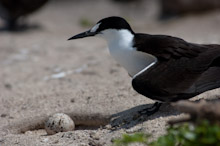 LAY230611J0005  Sooty tern, Sterna fuscata, guarding egg, Layang Layang, Spratly Islands, Sabah, East Malaysia, South China Sea.