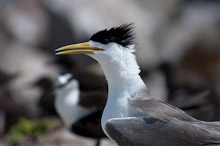 LAY230611J0006  Great Crested Tern, Sterna bergii, Layang Layang, Spratly Islands, Sabah, East Malaysia, South China Sea.