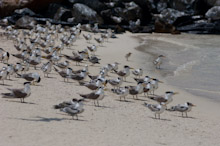 LAY230611J0007  Great Crested Terns, Sterna bergii, Layang Layang, Spratly Islands, Sabah, East Malaysia, South China Sea.