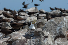 LAY230611J0014  Great Crested Tern, Sterna bergii, Layang Layang, Spratly Islands, Sabah, East Malaysia, South China Sea.
