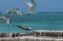 LAY230611J0021  Great Crested Tern, Sterna bergii, Layang Layang, Spratly Islands, Sabah, East Malaysia, South China Sea.