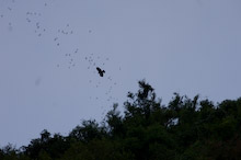 SAB270208J0053  Bat Hawk, Macheiramphus alcinus, hunting bats leaving cave, All About Dung Shoot, Gomantong caves, Kinabatangan Region, Sabah, Borneo, Malaysia.