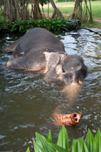 SRL080311J0009  Sri Lankan elephant, Elephas maximus maximus, wallowing in pool, Sri Lanka