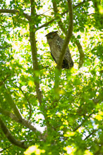 SRL100311J0001  Sri Lankan Brown Fish Owl, Bubo zeylonensis zeylonensis, perched in tree, Sri Lanka