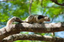 SRL100311J0009  Grizzled giant squirrel, Ratufa macroura, in tree, Sri Lanka